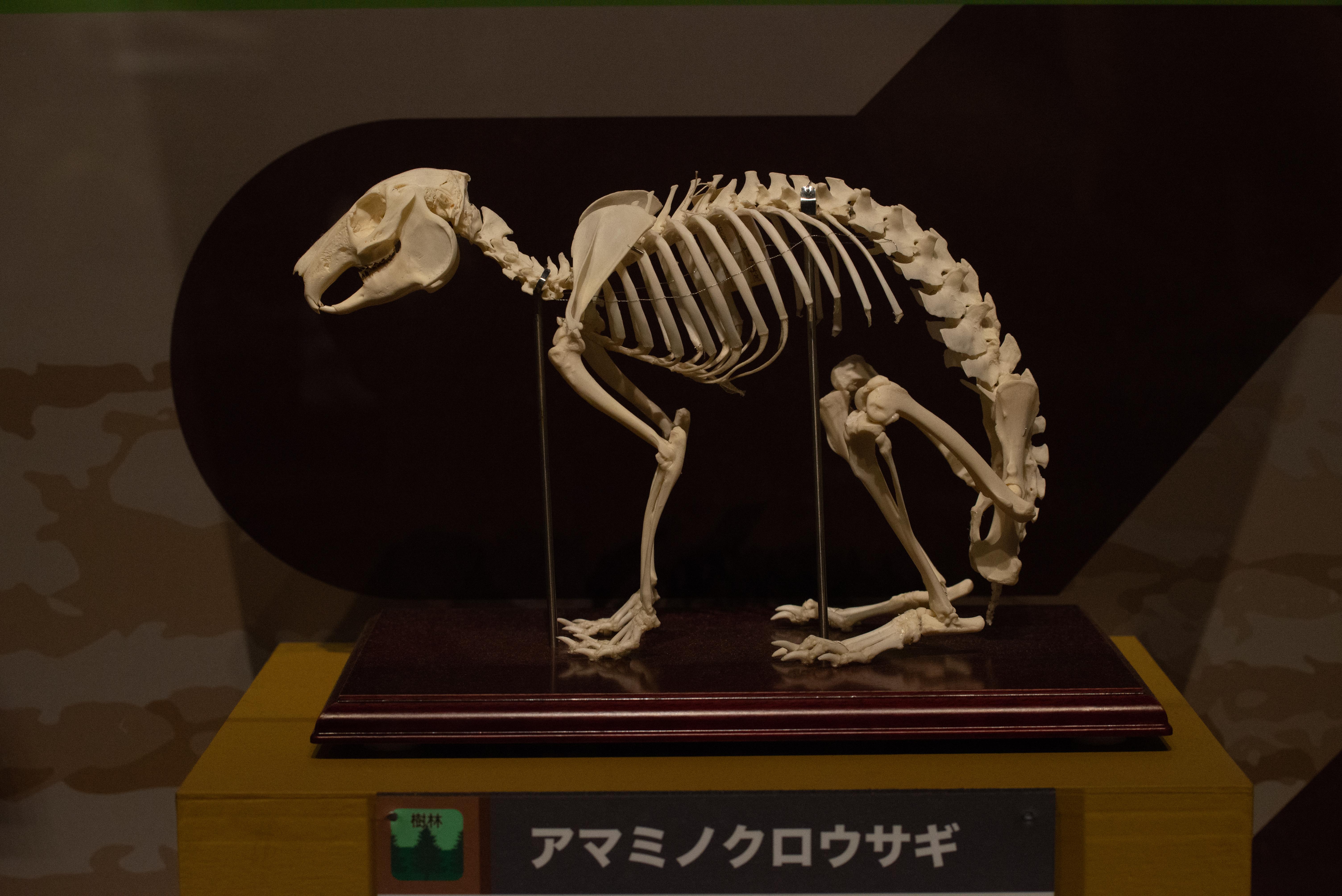 アマミノクロウサギ骨格標本